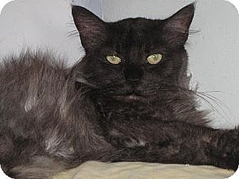Domestic Longhair Cat for adoption in Sherman Oaks, California - Sweet Pea
