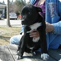 Adopt A Pet :: Bullwinkle - Crawfordville, FL