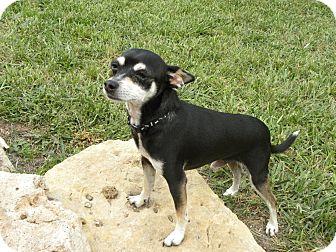 Chihuahua Dog for adoption in Manhattan, Kansas - Petee