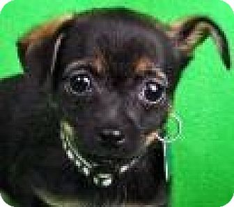 Chihuahua Mix Puppy for adoption in Minneapolis, Minnesota - Anna