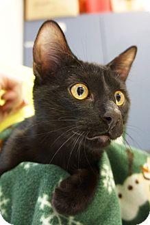 Domestic Shorthair Kitten for adoption in Houston, Texas - Shadow