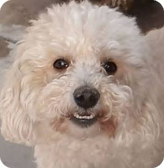 Poodle (Miniature) Dog for adoption in Inland Empire, California - SMOKEY
