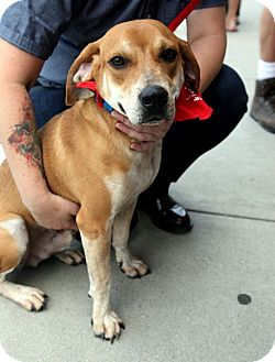 Beagle Mix Dog for adoption in Richmond, Virginia - Homer