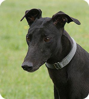 Greyhound Dog for adoption in Portland, Oregon - Firefly