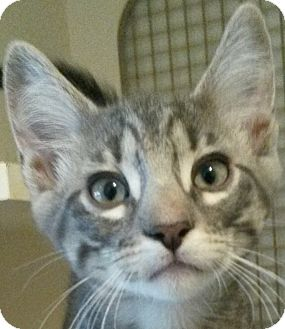 Domestic Shorthair Kitten for adoption in Colfax, Iowa - Levi