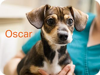 Dachshund/Terrier (Unknown Type, Small) Mix Puppy for adoption in Dallas, Texas - Oscar