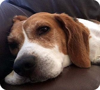 Beagle Dog for adoption in Houston, Texas - Saucy