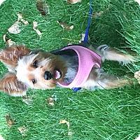 Adopt A Pet :: Tootsie - Austin, TX