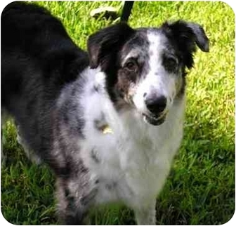 Australian Shepherd Dog for adoption in Orlando, Florida - Sugar