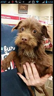 Cairn Terrier/Terrier (Unknown Type, Medium) Mix Dog for adoption in Fresno, California - Opie