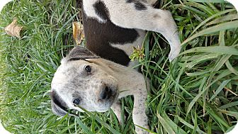 Pit Bull Terrier/Pit Bull Terrier Mix Puppy for adoption in grants pass, Oregon - Speckles