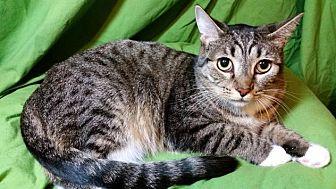 Domestic Shorthair Cat for adoption in Sarasota, Florida - Sweetie