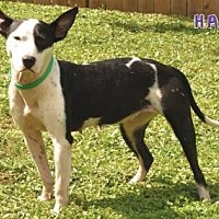 Adopt A Pet :: Dixie - Sebastian, FL