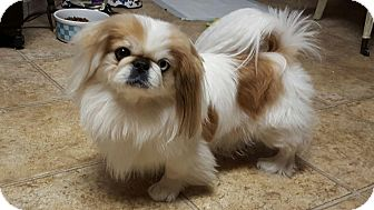 Pekingese Dog for adoption in Nashville, Tennessee - Butter Bean