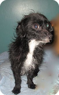 Terrier (Unknown Type, Small)/Chihuahua Mix Dog for adoption in Englewood, Colorado - Marvin the Martian