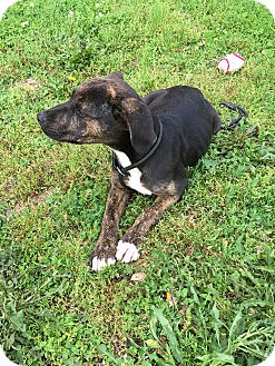 German Shepherd Dog/Pit Bull Terrier Mix Puppy for adoption in Loogootee, Indiana - Stella