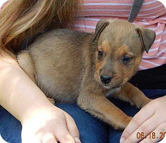 Carolina Dog/Shepherd (Unknown Type) Mix Puppy for adoption in Niagara Falls, New York - Lucky (8 lb) Video!