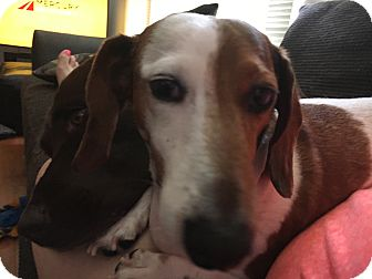 Dachshund Dog for adoption in St. Charles, Illinois - Patches
