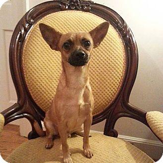 Chihuahua Mix Dog for adoption in Gaithersburg, Maryland - Rupert