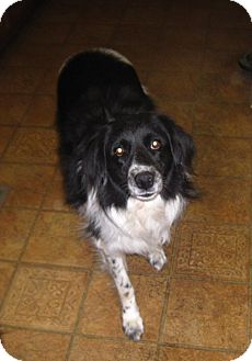 Border Collie Mix Dog for adoption in Louisville, Kentucky - Rhoda