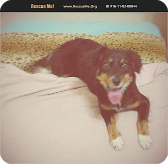 Australian Shepherd Dog for adoption in Madison, Tennessee - Mellie - just 20 lbs!