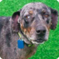 Adopt A Pet :: Callie - Walker, LA