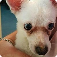 Adopt A Pet :: PeeWee - Pompano Beach, FL