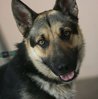 Shepherd (Unknown Type) Mix Dog for adoption in Canoga Park, California - Shadow