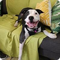 Adopt A Pet :: Diesel - Tempe, AZ