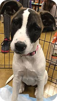 German Shepherd Dog/American Bulldog Mix Puppy for adoption in Sugar Grove, Illinois - Ashton