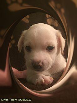 Bichon Frise/Chihuahua Mix Puppy for adoption in Tulsa, Oklahoma - Linus - NV