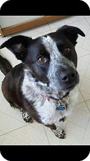 Blue Heeler/Border Collie Mix Puppy for adoption in Cleveland, Oklahoma - Zena