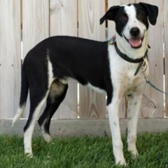 Labrador Retriever Mix Dog for adoption in Amarillo, Texas - Pumba
