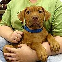 Hound (Unknown Type)/Terrier (Unknown Type, Medium) Mix Puppy for adoption in Columbia, Illinois - Orson