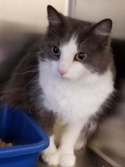 Domestic Longhair/Domestic Shorthair Mix Cat for adoption in Atlanta, Michigan - Tinker