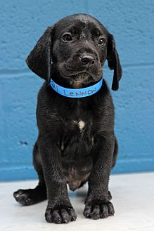 Basset Hound/Labrador Retriever Mix Puppy for adoption in Waldorf, Maryland - Lennon