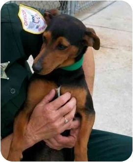 Miniature Pinscher/Dachshund Mix Puppy for adoption in Macclenny, Florida - Ese