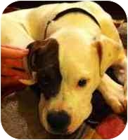 American Bulldog/American Pit Bull Terrier Mix Puppy for adoption in Dayton, Ohio - Paige