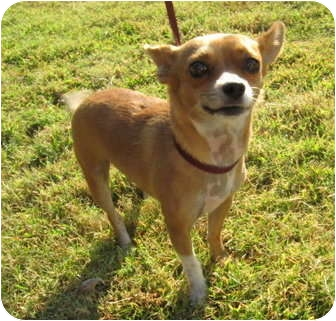 Chihuahua/Terrier (Unknown Type, Small) Mix Dog for adoption in Stillwater, Oklahoma - Cowboy