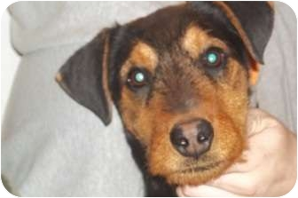 Airedale Terrier Mix Puppy for adoption in Arenas Valley, New Mexico - Bentley