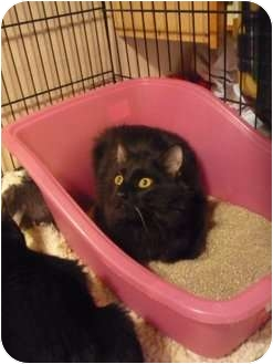 Domestic Shorthair Kitten for adoption in Chilliwack, British Columbia - Whiskers