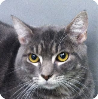 Domestic Shorthair Cat for adoption in Winchester, California - Leary