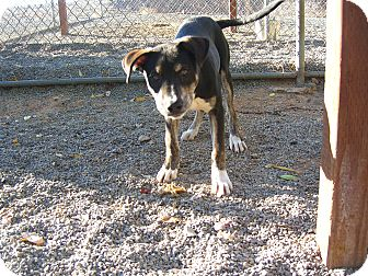 Catahoula Leopard Dog Mix Puppy for adoption in Kelseyville, California - Moses