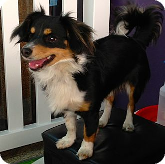 King Charles Spaniel Mix Dog for adoption in Thousand Oaks, California - Charles