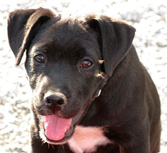 Labrador Retriever/Pointer Mix Puppy for adoption in Indianapolis, Indiana - Sidney