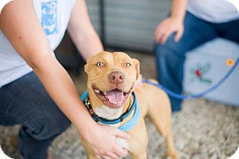 Pit Bull Terrier Mix Dog for adoption in San Antonio, Texas - Bailey