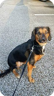 Cavalier King Charles Spaniel/Beagle Mix Dog for adoption in Fishkill, New York - Remy