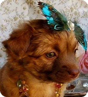 Welsh Corgi/Spaniel (Unknown Type) Mix Puppy for adoption in Irvine, California - Lady Edith