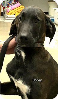 Great Dane Mix Puppy for adoption in Hibbing, Minnesota - Bodey