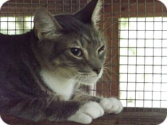American Shorthair Cat for adoption in Floral City, Florida - Tony Tiger
